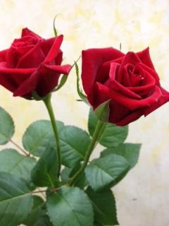 カンツォーネ バラ 薔薇