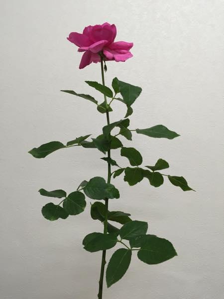 ブルジョア 薔薇