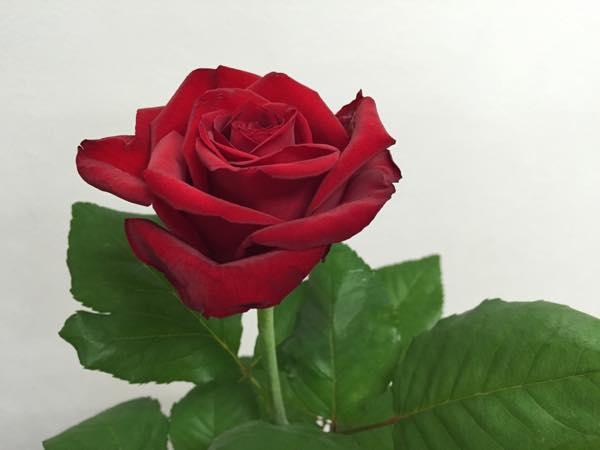 エロス! 薔薇