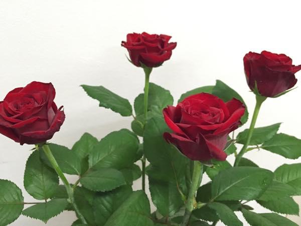 エロス! 赤いバラ