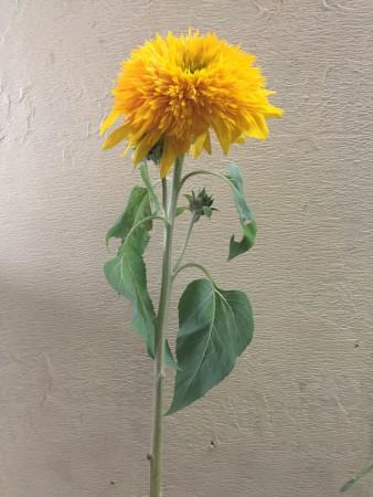 東北八重 向日葵