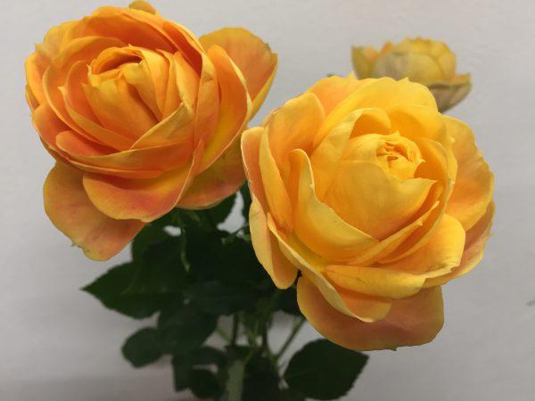 ヘリオスロマンチカ バラ