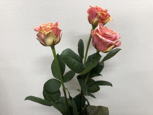 フィスタ+ 薔薇