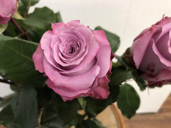 マリティム 紫 バラ