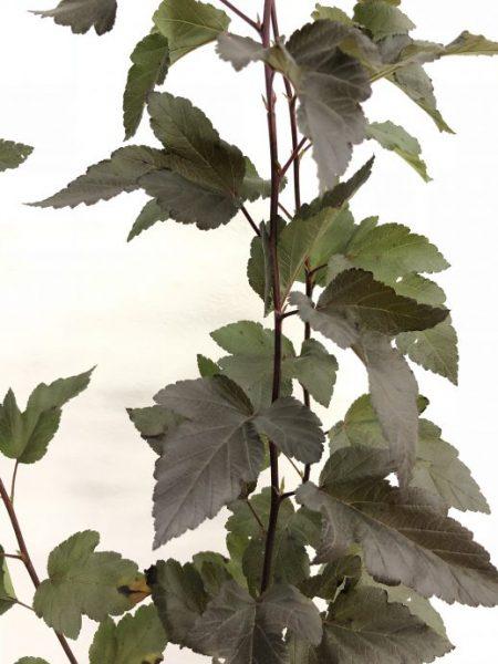 ディアボロ 木