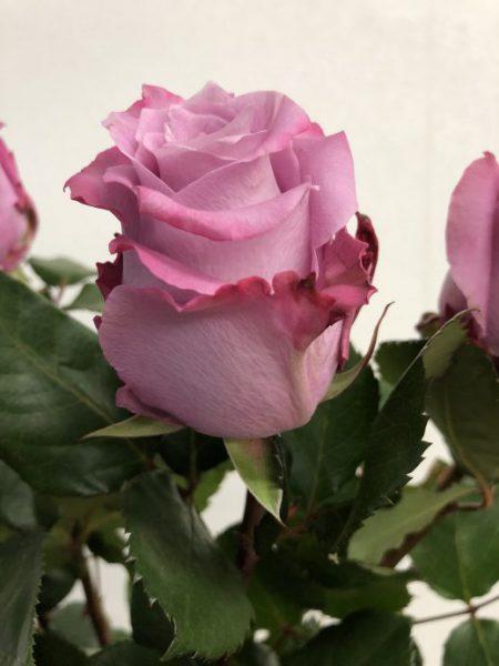 マリティム 薔薇