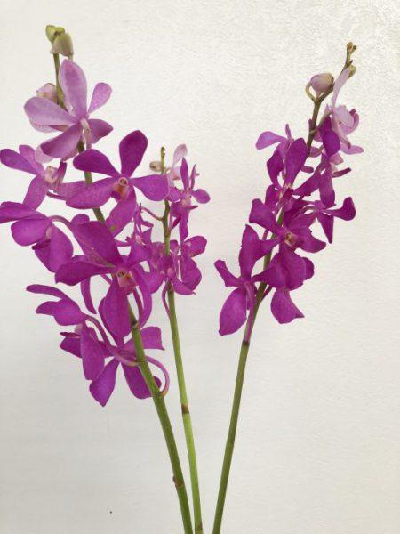 カリプソ 花