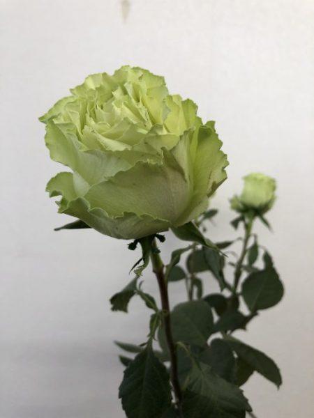 レモネード 薔薇