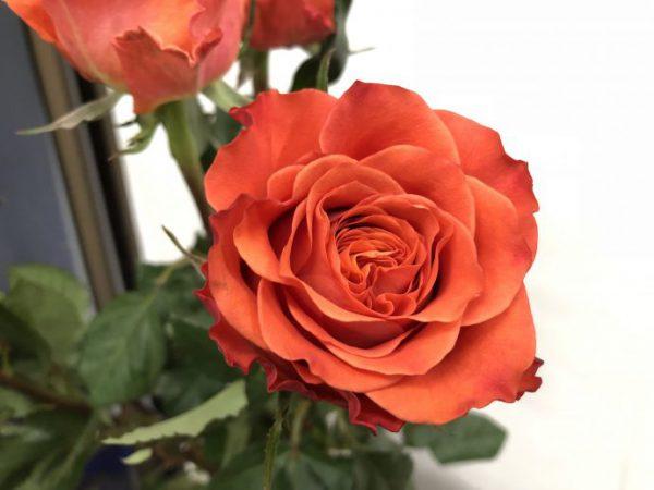 オレンジのバラ タバスコ