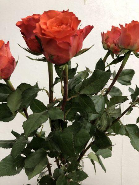 薔薇 タバスコ