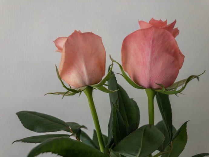 バラ フロインディン
