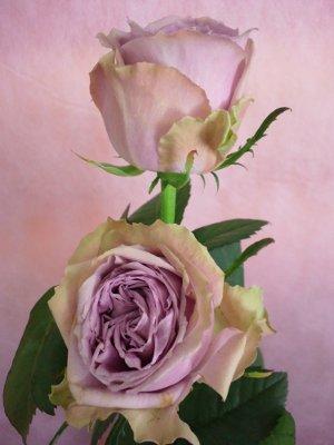 ブルーミルフィーユ バラ(薔薇)