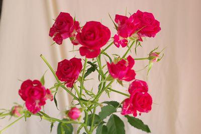スプレーバラ(薔薇) ココット