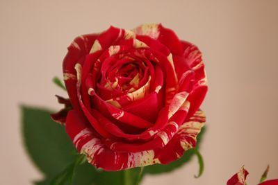 ラナンキュラ バラ 薔薇
