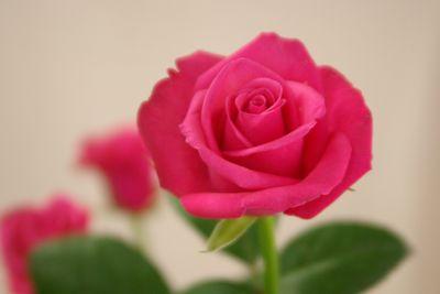 バラ(薔薇) テレサ