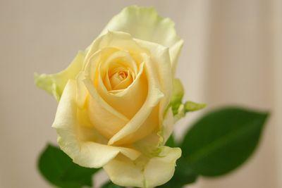 バラ(薔薇) ピーチアバランチェ