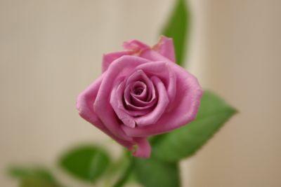 バラ(薔薇) デリーラ