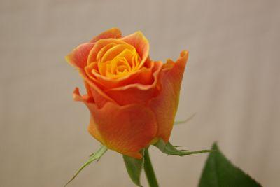 バラ(薔薇) マナナ