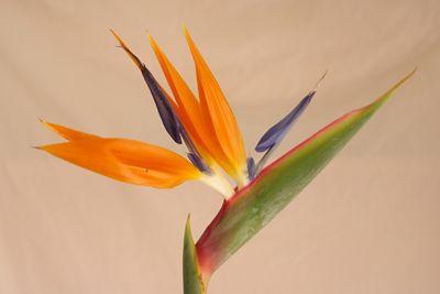 ストレリチア ストレチア 極楽鳥花 ゴクラクチョウカ