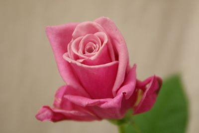 シルバナスペック バラ(薔薇)