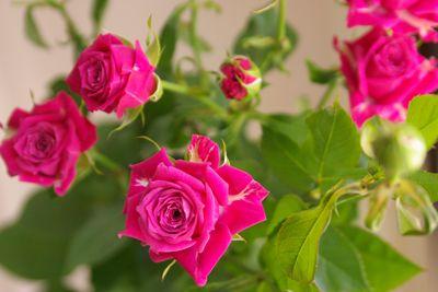 プロフェシー スプレーバラ(薔薇)