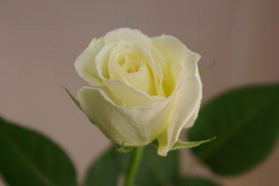 ティネケ バラ(薔薇)