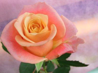 ミスピギー バラ(薔薇)