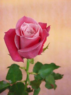 タージマハル バラ(薔薇)