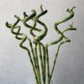 ミリオンバンブー スパイラルバンブー ドラセナ 切り花