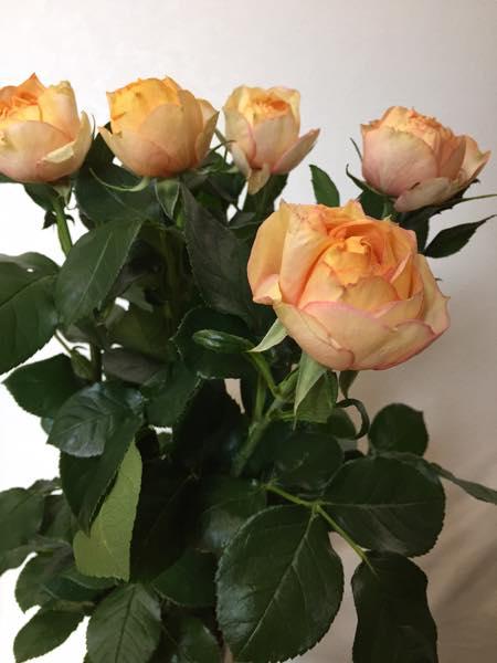 ベビーロマンティカ バラ 薔薇