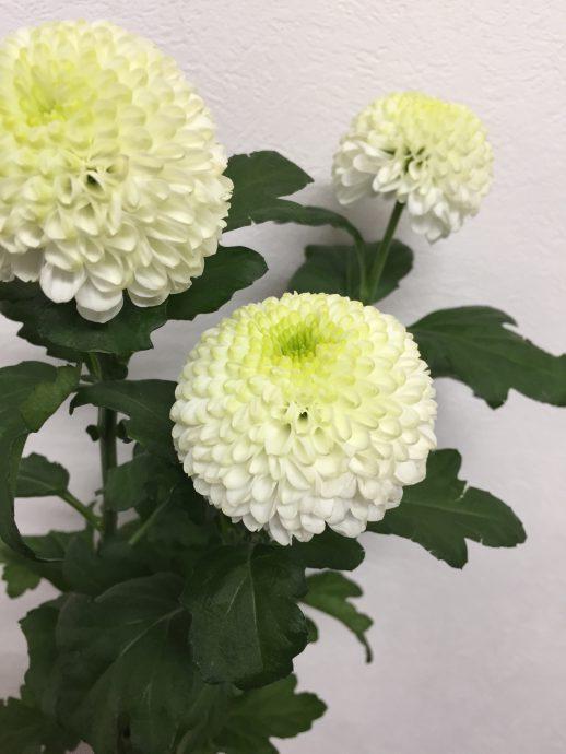 フォーリングホワイト(ピンポン菊)