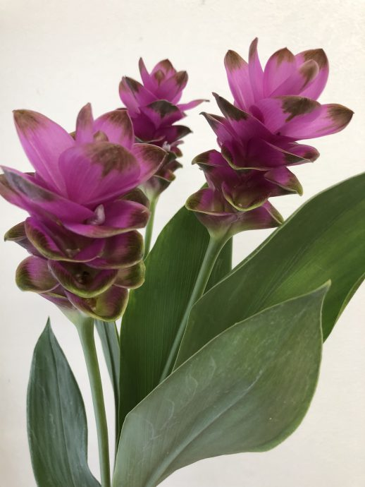 クルクマ 紫苑(シエン)