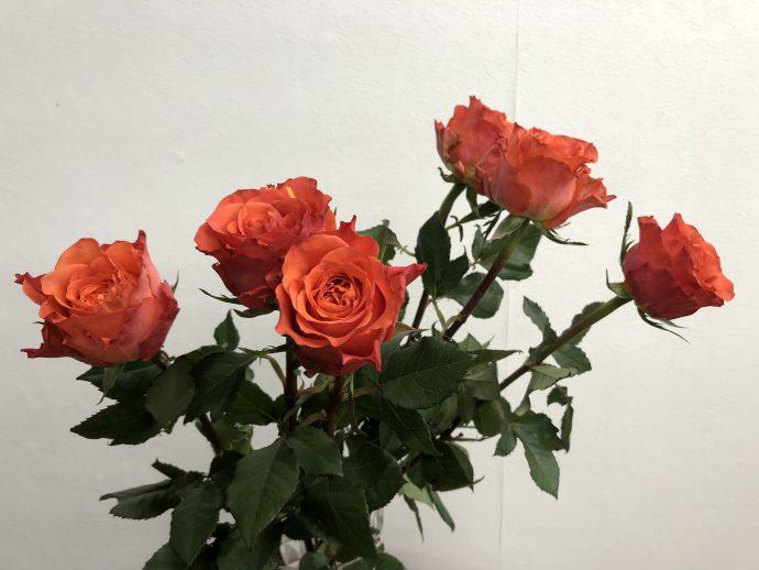タバスコ バラ(薔薇)
