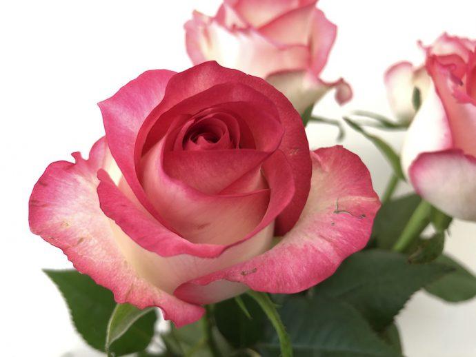 ジュミリア バラ 複色 ピンク