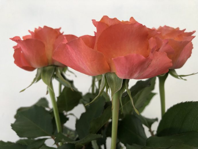 ティアモ 薔薇