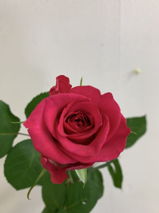 ライラ+ バラ(薔薇)