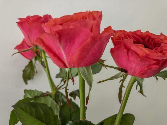 カンパネラホットピンク 薔薇