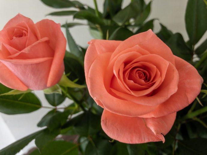 フロインディン バラ(薔薇)