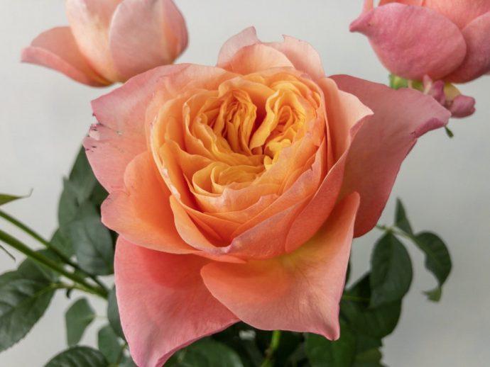 ヴィクトリアンシークレット バラ(薔薇)