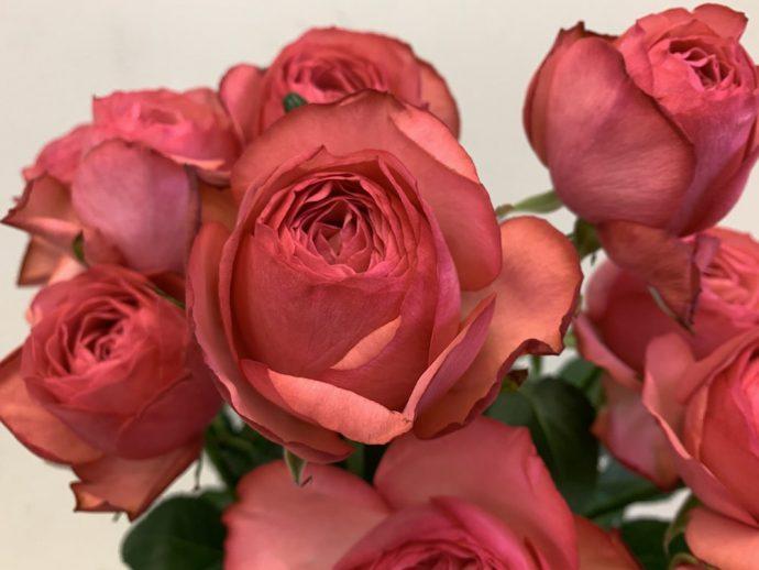 エストレーノ バラ(薔薇)
