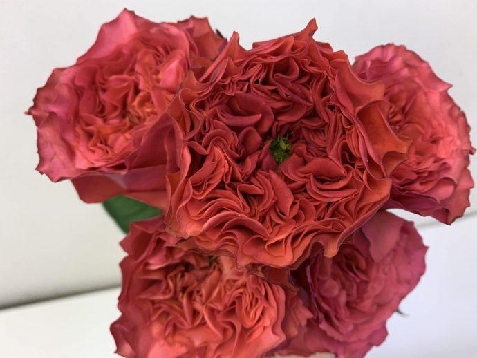 カンパネラホットピンク バラ(薔薇)