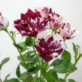 スパークリンググラフィティ スプレーバラ(薔薇)
