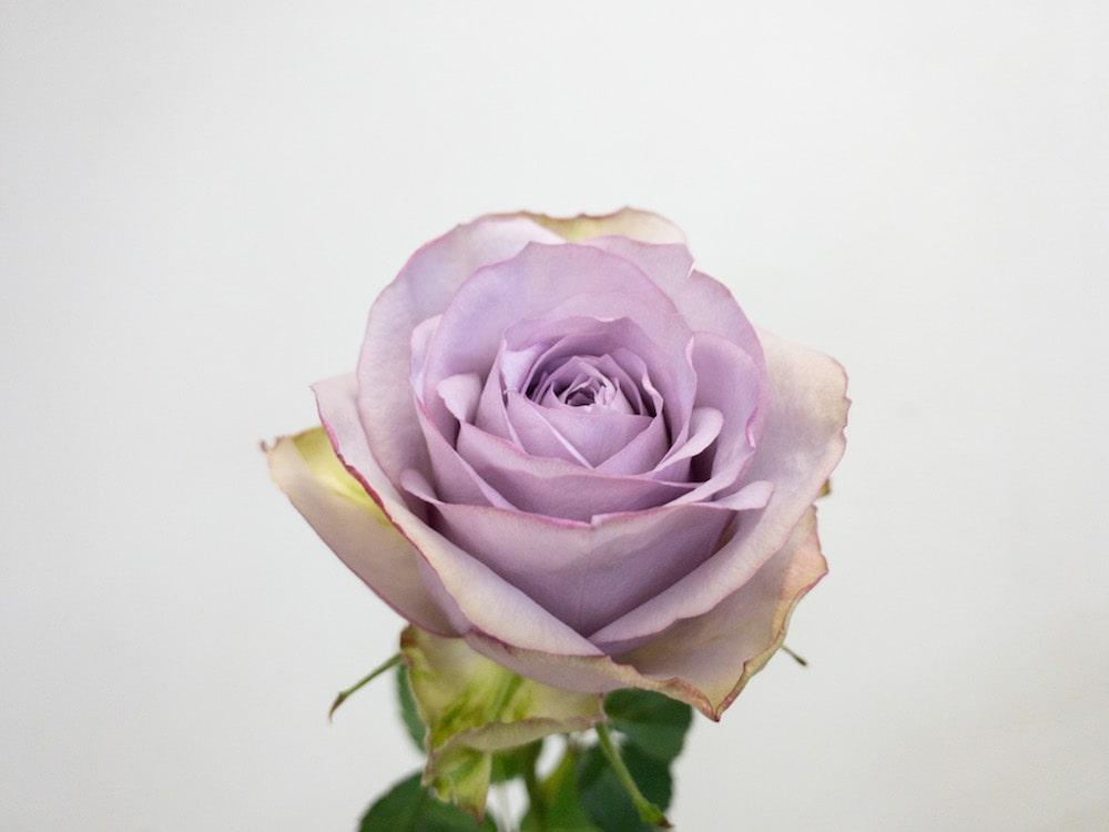 ライラッククラシック バラ