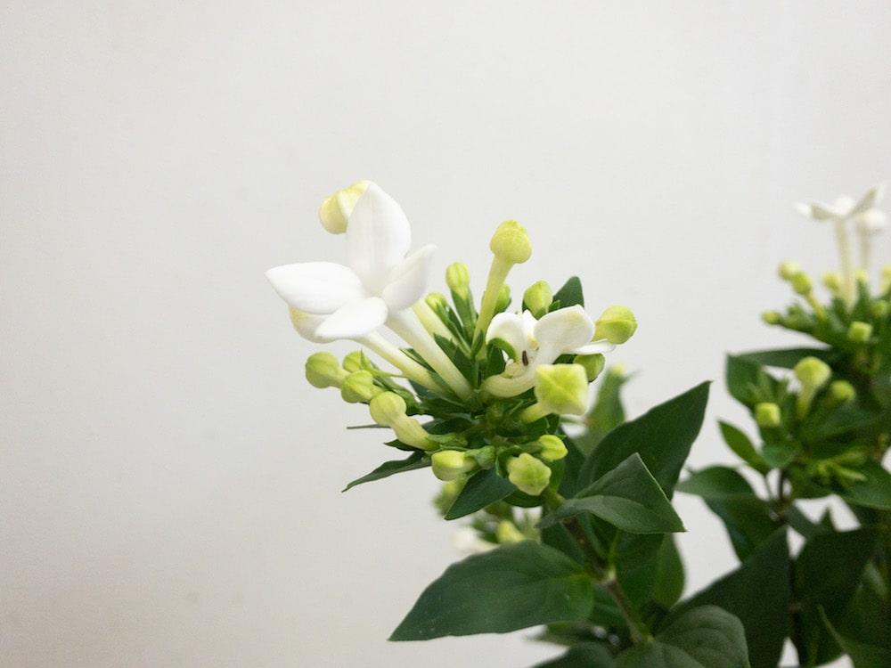 ホワイトスープリーム ブバルディア