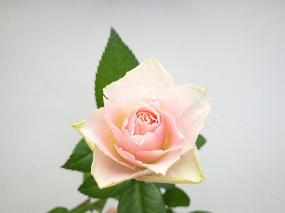エンジェルヴェール バラ(薔薇)