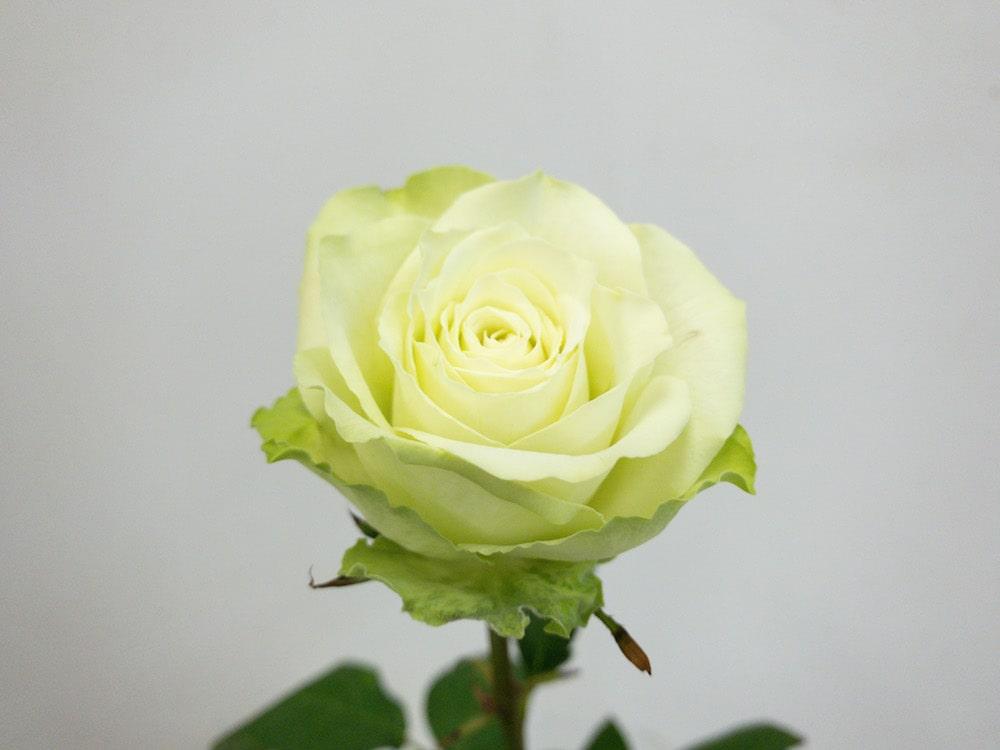 ミントティー バラ(薔薇)