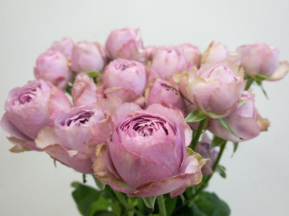 ラベンダーレース バラ(薔薇)