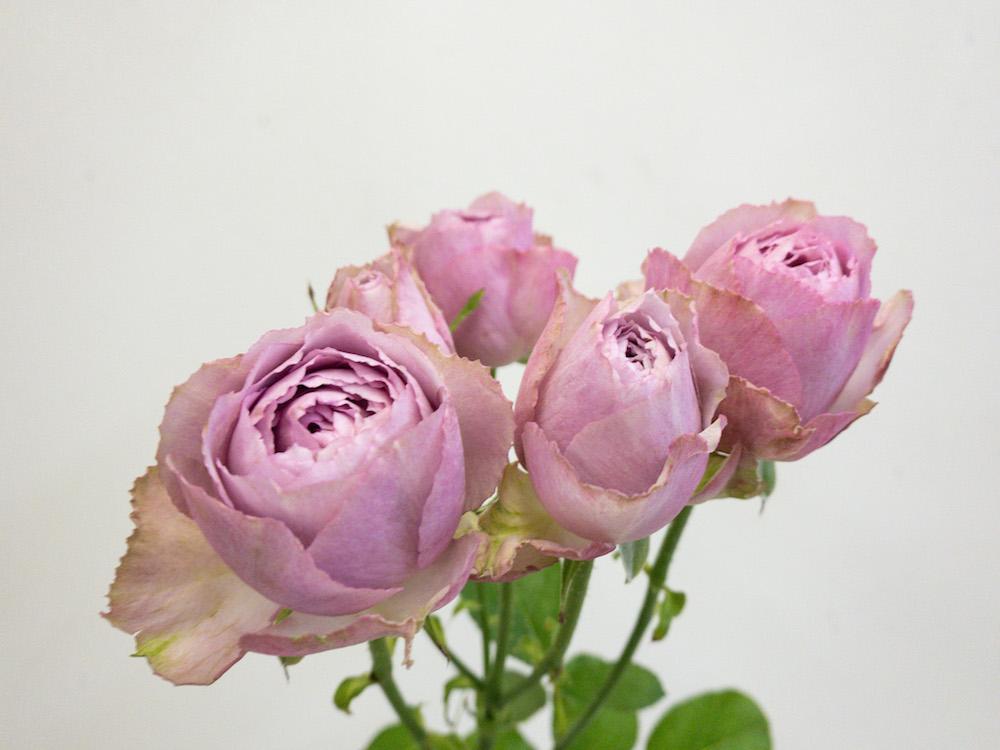 薔薇 ラベンダーレース