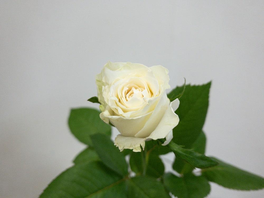 グランオマージュ バラ(薔薇)