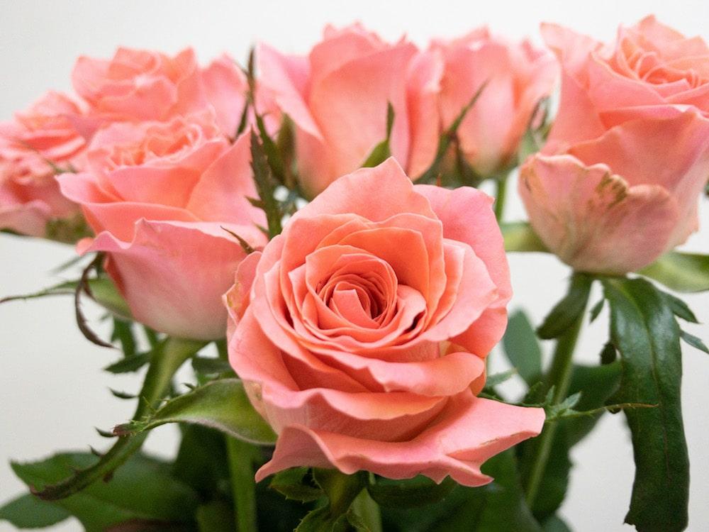 エースピンク+ バラ(薔薇)